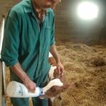 Feeding the little calf