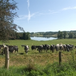 The dairy cows outside in the field
