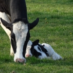 The newborn calf